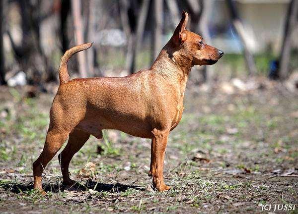 Миниатюрный пинчер (цвергпинчер), породы собак фото собаки фотография