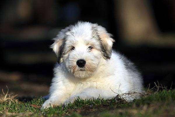 Щенок южнорусской овчарки, фото поведение собаки кошки фотография