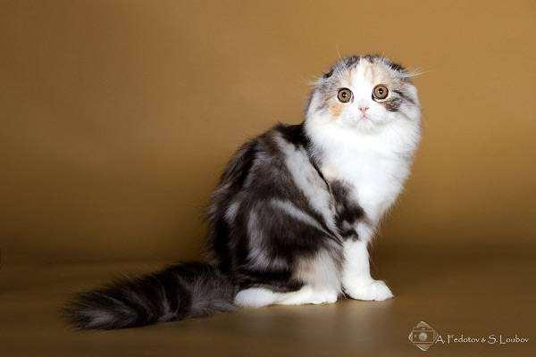 Хайленд фолд, фотография кошки уход фото
