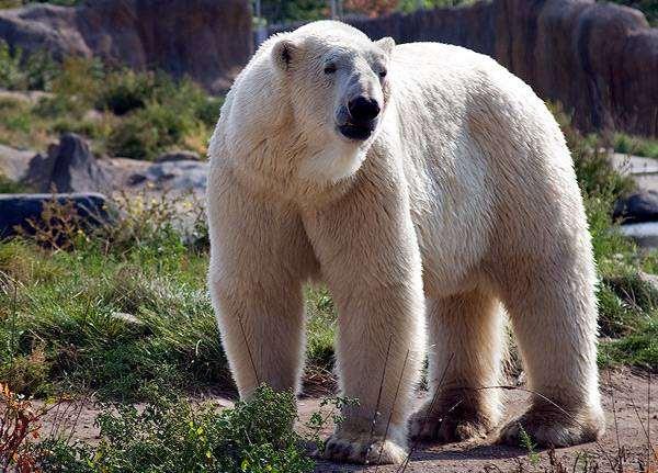Белый медведь (Ursus maritimus), фото хищные животные фотография