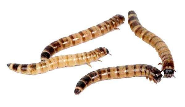 Зоофобус, или личинка чернотелки, фото насекомые фотография