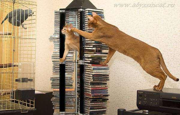 Абиссинские кошки охотятся на попугая жако, фото птицы фотография
