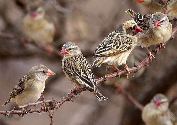 Красноклювые ткачики (Quelea quelea), фото птицы фотография картинка