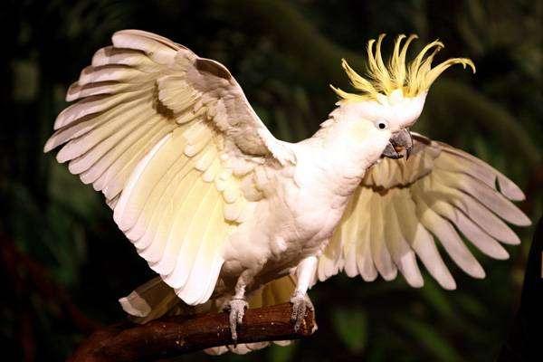 Желтохохлый какаду, фото фотография попугаи птицы картинка
