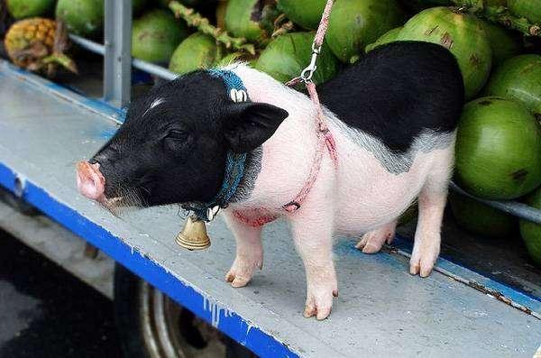 Минипиги, мини-пиг, фото фотография свиньи картинка