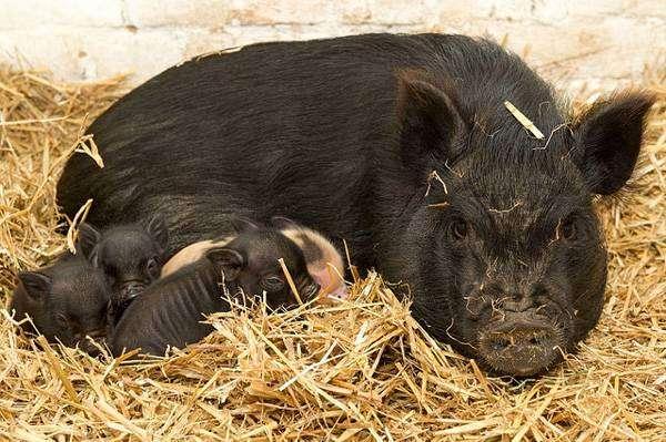 Свиноматка мини-пига с поросятами, фото фотография карликовые свиньи картинка