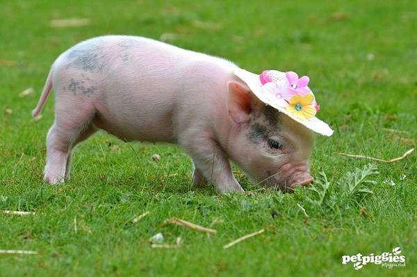Мини-пиг в шляпке на лужайке, фото фотография картинка