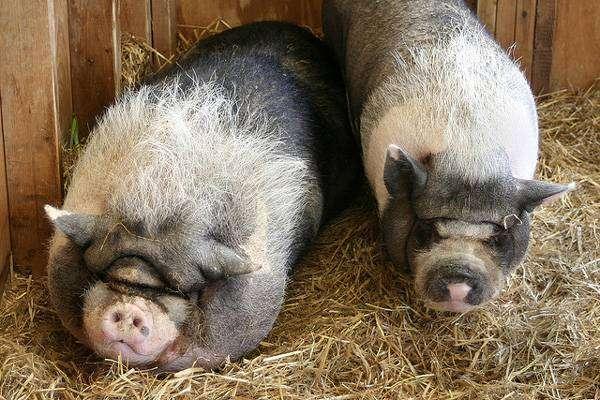 Взрослые карликовые свиньи, мини-пиги, фото фотография картинка