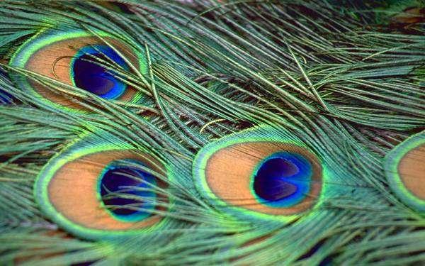 Павлиньи перья, перья павлина, фото птицы фотография картинка