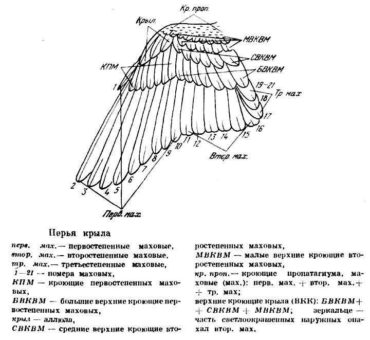 Перья крыла птицы, картинка рисунок схема