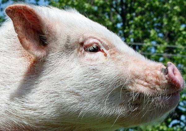 Поросенок мини-пига, фото фотография свинки картинка
