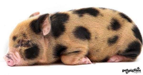 Спящий поросенок минипига (мини-пига), фото фотография картинка
