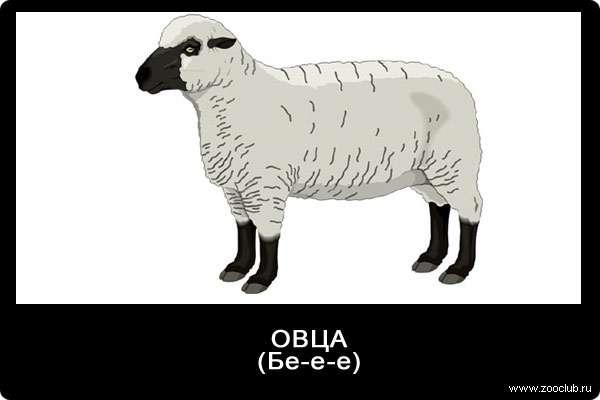Голос овцы, бе-е-е, звуки животных для детей