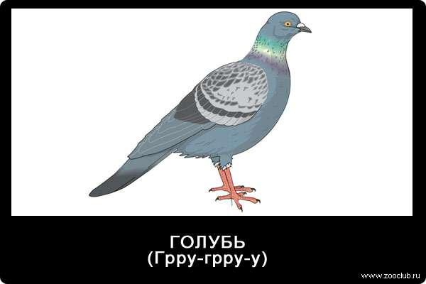 Голос голубя, Грру-грру-у, звуки животных для детей