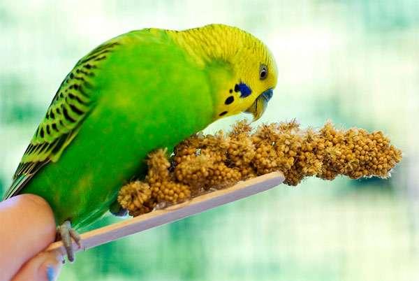 Волнистый попугай обклевывает сладкую палочку, фото птицы фотография картинка