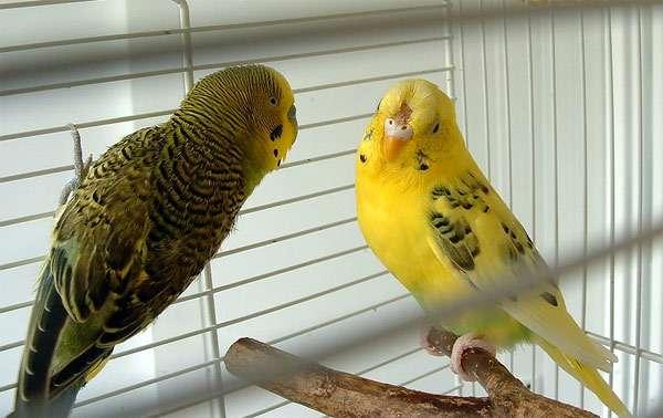 Волнистые попугайчики, фото попугаи фотография птицы
