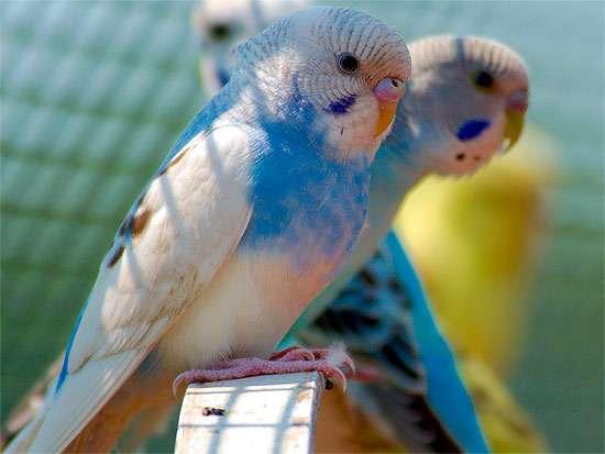 Голубой волнистый попугачик, фото птицы фотография картинка