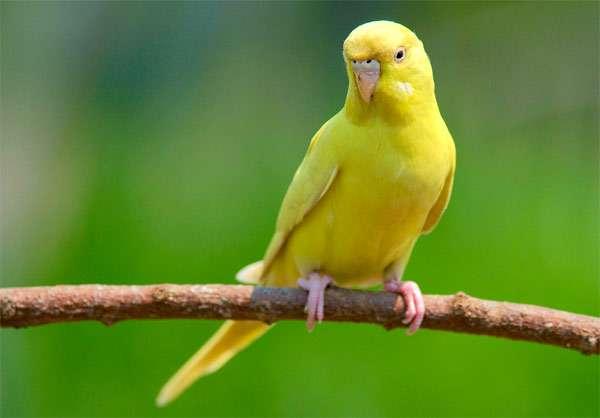 Желтый волнистый попугай, фото птицы фотография картинка