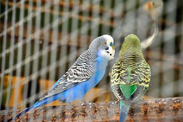Пара волнистых попугаев, фото птицы фотография картинка