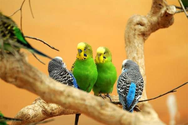 Четыре волнистых попугайчика, фото птицы попугаи фотография картинка