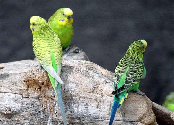 Волнистые попугайчики, волнистики, фото птицы фотография картинка