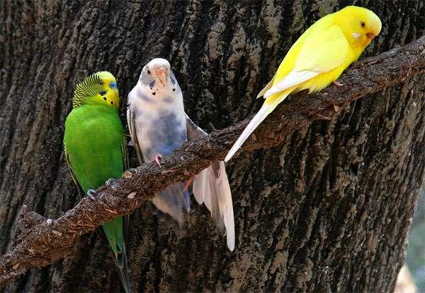 Волнистые попугайчики, фото птицы фотография