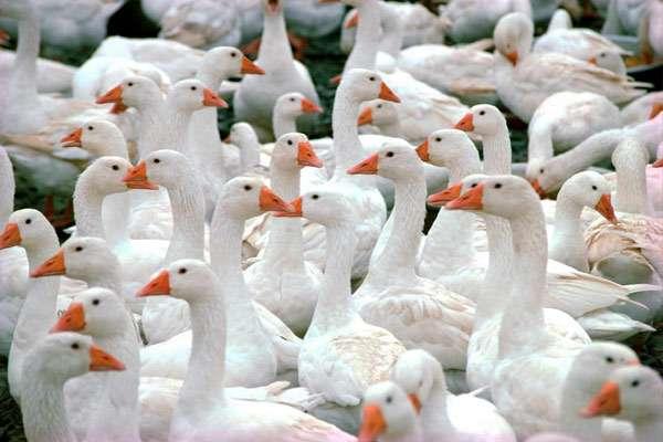 Домашние гуси, фото утиные птицы фотография