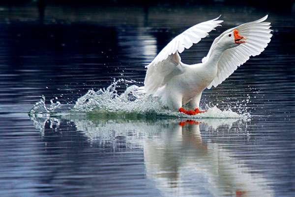 Домашний гусь, фото птицы фотография картинка