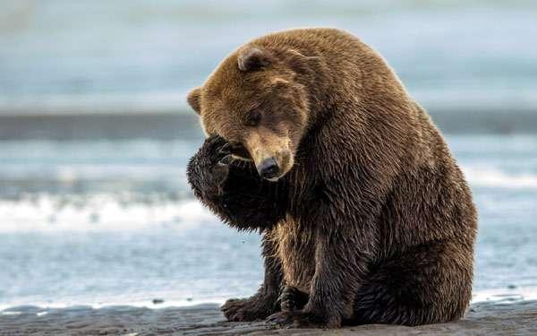 Бурый медведь, фото хищники фотография