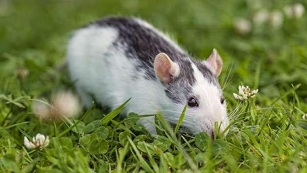 Домашняя крыса, фото клички для грызунов фотография
