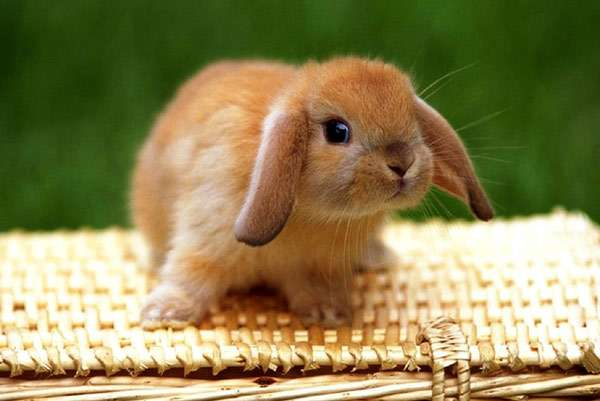 Кролик-баран, фото клички для грызунов фотография
