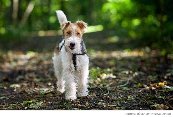Жесткошерстный фокстерьер, фото породы собаки фотография