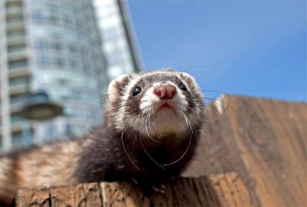 Хорек в городе, фото хищные животные фотография