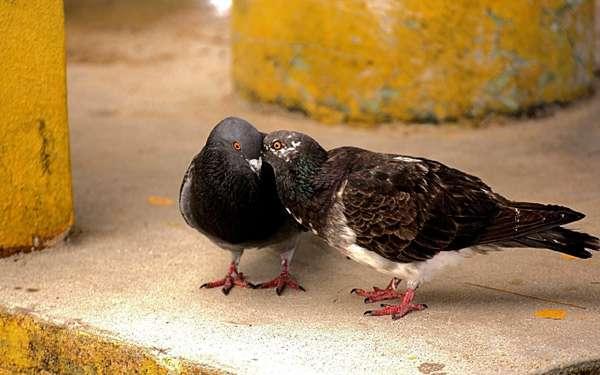Два сизых голубя, фото птицы фотография картинка