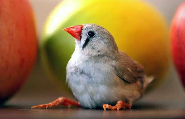 Амадина, фото птицы фотография картинка
