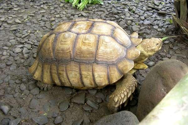 Коричневая черепаха (Manouria emys), фото рептилии фотография картинка