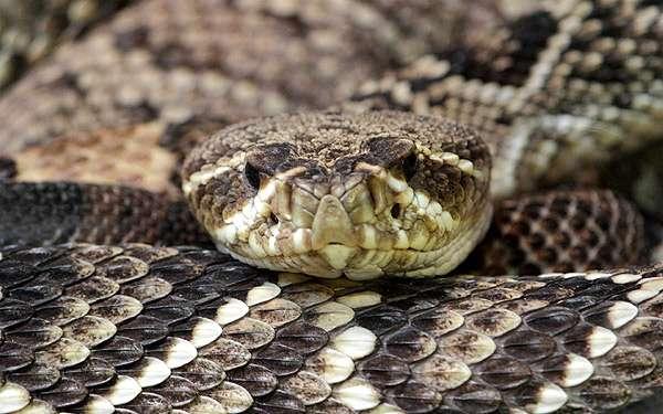 Гадюка, фото пресмыкающиеся змеи фотография