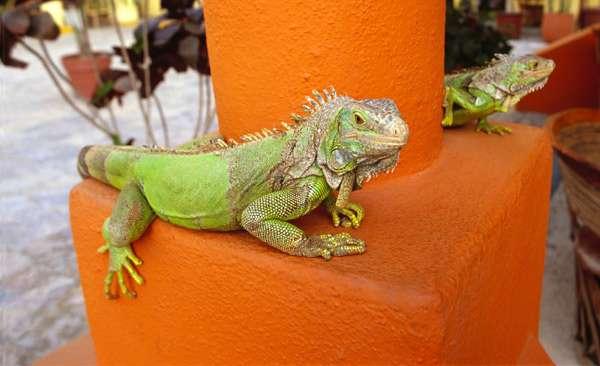 Зеленые игуаны, фото ящерицы фотография картинка