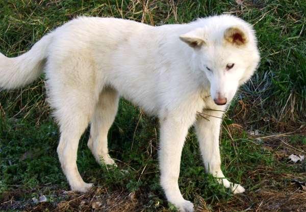 Белая швейцарская овчарка, фото породы собаки фотография