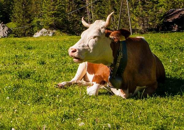 Корова лежит на лугу, фото животные фотография