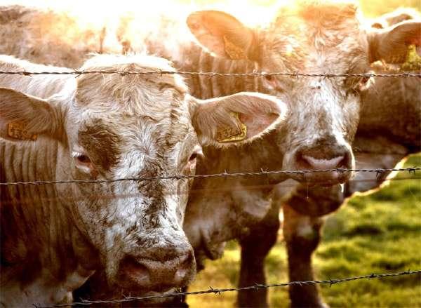 Домашние коровы, фото парнокопытные животные фотография изображение
