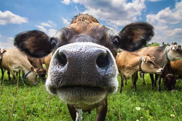 Любопытная корова, фото фотография картинка животные