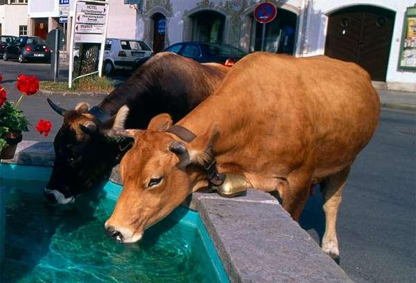 Коровы пьют воду, фото фотография картинка