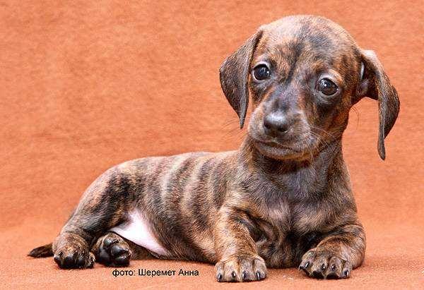 Кроличья такса щенок, фото породы собак фотография