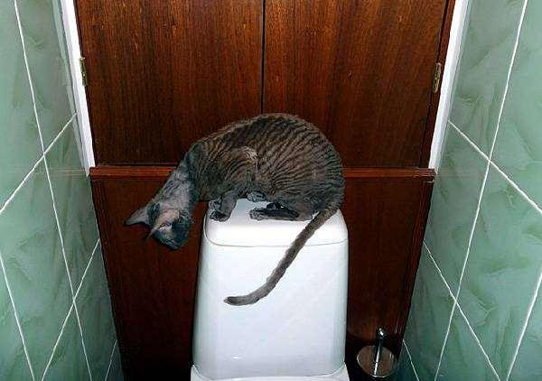 Корниш-рекс на унитазе, фото кошки и лоток фотография