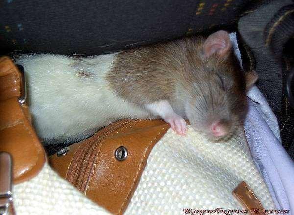 Спящая крыса, фото содержание крыс фотография