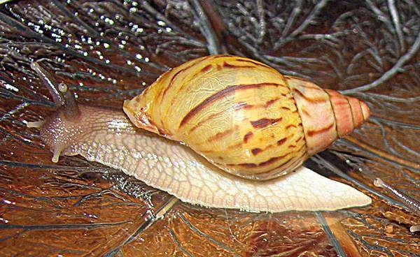 Ахатина занзибарика (Achatina zanzibarica), фото вопросы об улитка фотография