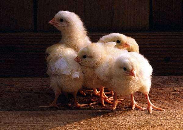 Цыплята, фото уход за курами картинка
