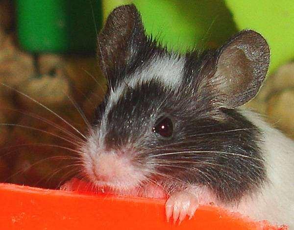 Карликовая японская мышь, фото вопросы о грызунах фотография