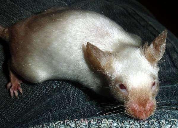 Сатиновая мышь, фото вопросы ответы о грызунах фотография